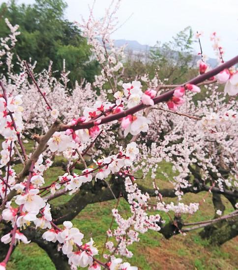 鳥取県湯梨浜町・野花梅渓が見ごろです